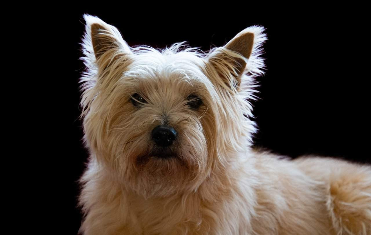 What to everything Know About Cairn Terrier Puppies Breeders Image